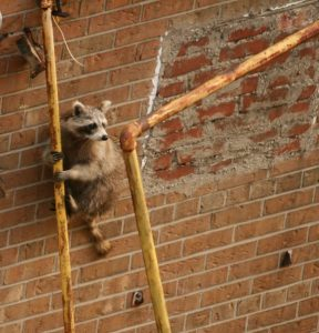 raccoon climbing pipes