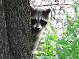 Raccoons: Resourceful Masked Bandits