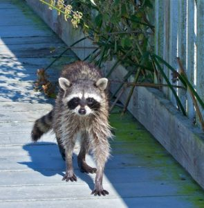 raccoon on deck
