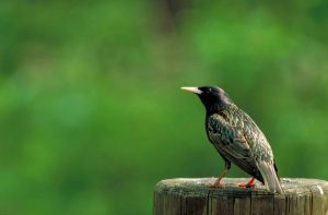 European starling on post