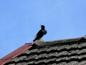 European starling on roof