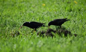 European starlings in grass