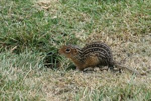 Thirteen-lined ground squirrel