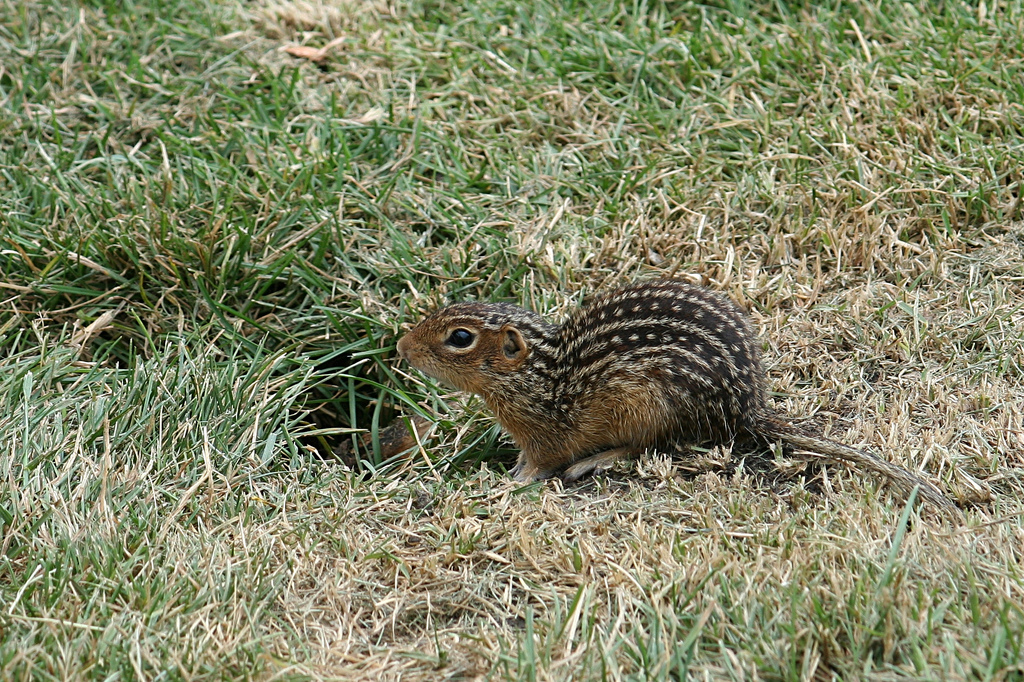 How To Get Rid Of Ground Squirrels Effective Wildlife Solutions