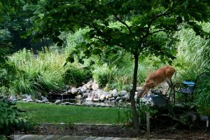 deer drinking from pond
