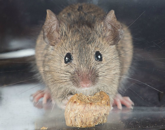 House mouse eating food