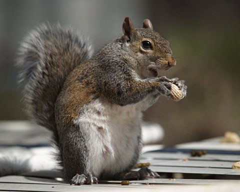 Squirrel enjoying a peanut