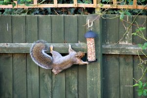 Squirrel stretching for bird feeder