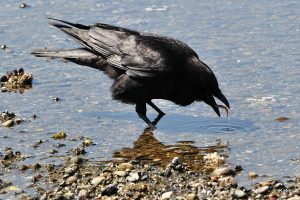 Crow in water