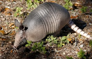 Understanding the True Risks of Armadillo Leprosy
