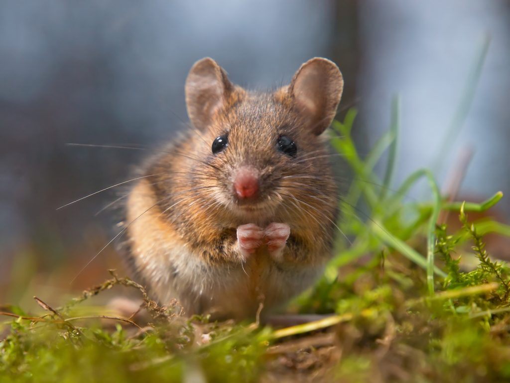 Best Food For Attracting Mice