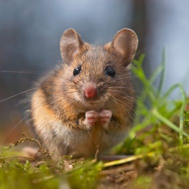 A Guide to Field Mice