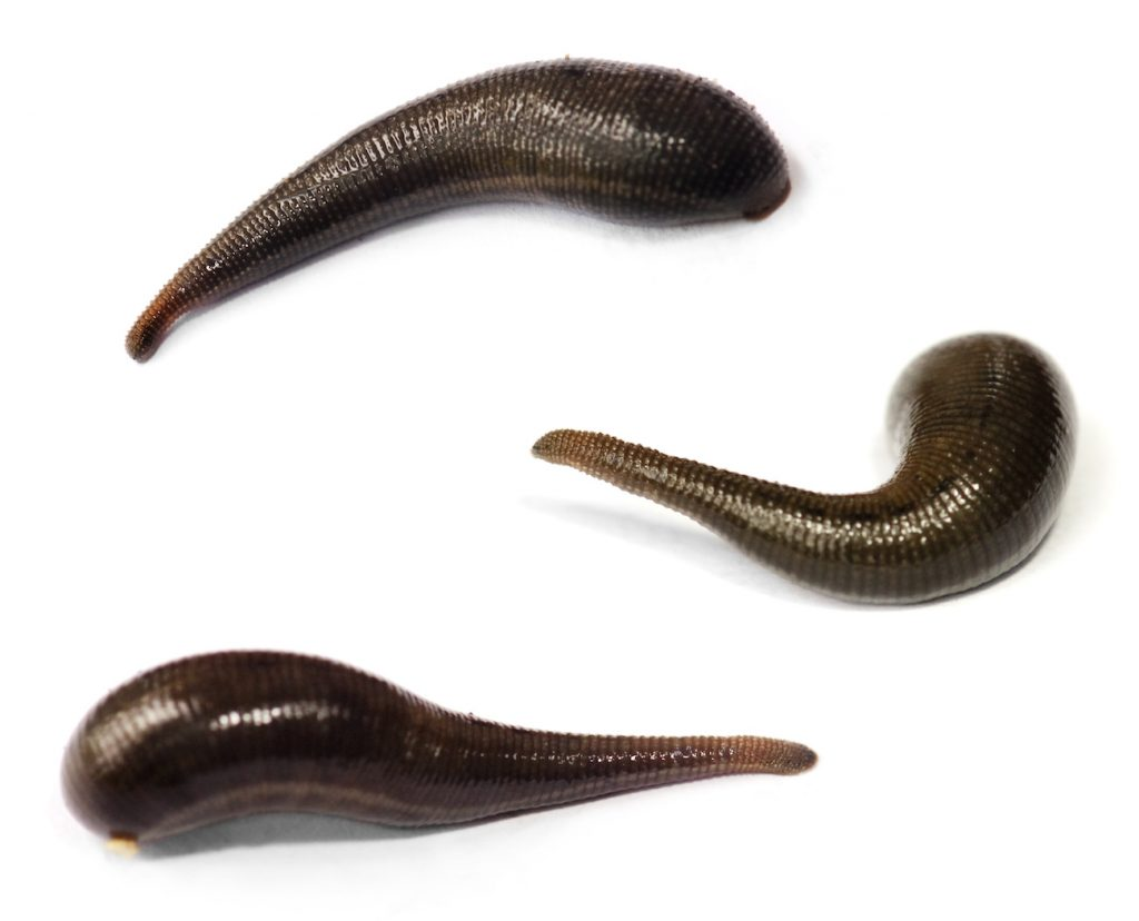 three leeches on a white background