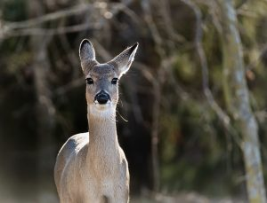 Natural Ways to Create Deer Repellent