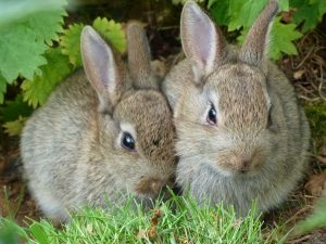 Wild Baby Bunnies and What To do When You Find Them