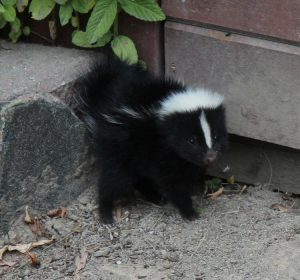 Skunk Den Identification and How to Get Rid of One
