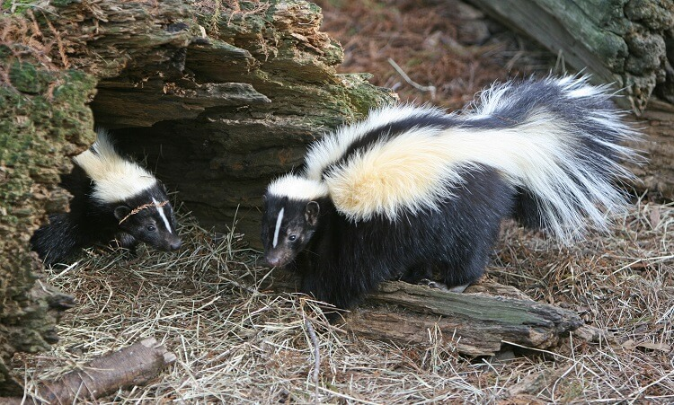 Baby skunks near skunk den