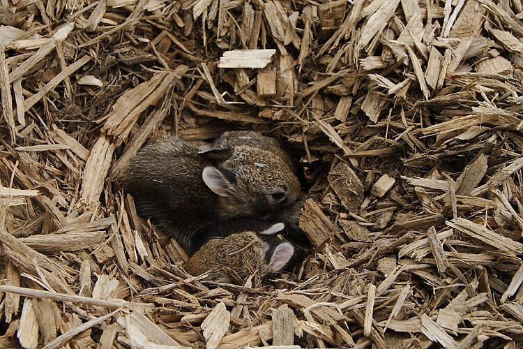 Brown rabbit nest