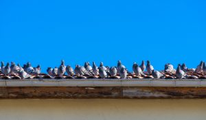 Everything You Need to Know About Pigeon Control