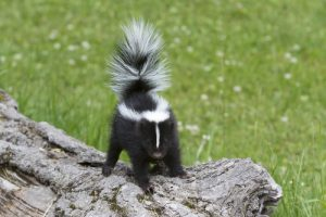 Can Skunks Climb? 8 Shocking Facts about Skunks You Didn't Know