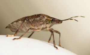 how to get rid of stink bug bites