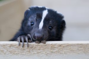 can skunks climb