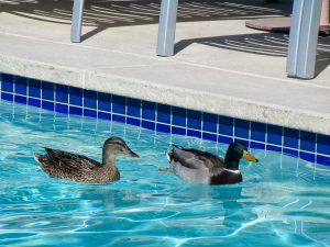 Get Rid Of The Ducks In Your Swimming Pool With These Duck Repellents